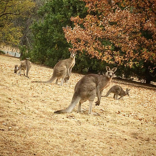 Catch up with some of the locals #canberra #fun #weekend #enjoyyourday #native #kangaroo