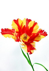 It's tulip time (louise peters) Tags: red flower green yellow leaf groen steel petal blad stamen tulip highkey geel rood bloem tulp stengel parrottulip stamper meeldraden bloemblad parkiettulp