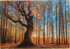 The King of the Forest - Wentworth - 250 Teile (.Francine) Tags: herbst puzzle holz landschaft wald