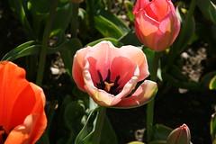 #lesfleursdumal #fiori #flowers #parcosigurt #nature #valeggiosulmincio #italy #spring #primavera (turolateresa) Tags: flowers italy primavera nature spring fiori lesfleursdumal valeggiosulmincio parcosigurt