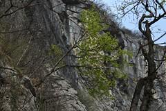 l'arbre dans la falaise (bulbocode909) Tags: suisse vert arbres printemps valais falaises montagnes stmaurice forts