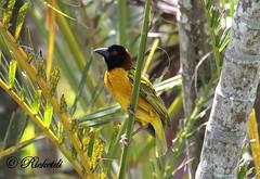 Tisserin gendarme male (ricketdi) Tags: bird yellow jaune ngc npc coth ploceuscucullatus villageweaver tisseringendarme birdsofdominicanrepublic coth5 oiseauxdelarpubliquedominicaine
