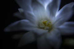 Cactus (d1g1dav3) Tags: blue summer cactus flower macro spring nikon flash stamen bloom strobe yong nuo d5200