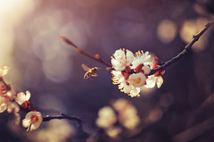 Essence of spring (Psztor Andrs) Tags: light sunset orange sun color macro tree nature yellow lens photography 50mm fly spring aperture nikon hungary mood dof blossom wide bee m42 bloom nectar f2 shallow manual dslr russian detailed helios andras pasztor m442 d5100