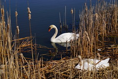 Stand Guard (AncasterZ) Tags: swan hatch muteswan incubation