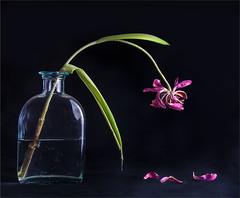 2016/83/366 Tulip (margaret_99) Tags: leaves tulip waterbottle