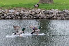 Touch Down (kevnkc2) Tags: park county duck spring pond nikon pennsylvania contemporary ducks sigma cumberland lightroom shippensburg d610 stdntsdoncooper 150600mm 150600f563