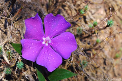 Flor-de-quaresma /  Glory bush (Tibouchina granulosa)