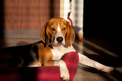 Louis (tomtom1971) Tags: dog beagle