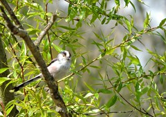 long tail tit (menchuela) Tags: longtailtit birds aves pajaritos herrerillomito menchuela