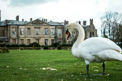 Guarding Coombe Country Park (littlesarahphotography) Tags: park nature birds outdoors spring swan wildlife country april coombeabbey
