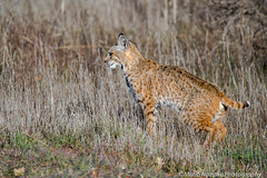 Bobcat (fascinationwildlife) Tags: california morning winter wild usa nature animal america cat mammal feline wildlife natur central rufus valley elusive bobcat predator lynx luchs rotluchs