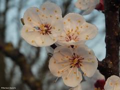 apricot flowers with dew (phacelias) Tags: flowers primavera fruit spring blossom apricot fiori lente frutta bloesem bloemen abrikoos fioritura albicocco prunusarmeniaca