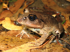Great Barred Frog (Mixophyes fasciolatus) (Heleioporus) Tags: new wales coast south great frog barred mixophyes fasciolatus