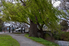 Strong Winds a Blowing (Jocey K) Tags: bridge trees newzealand christchurch cars water river spring windy willow avon buldings pathway avonriver hagelypark