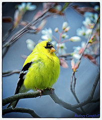 Goldfinch in Spring (AcrylicArtist) Tags: bird birds spring michigan goldfinch blossoms finch
