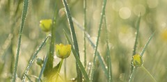 May Dance (chris.ph) Tags: morning light macro green yellow spring bokeh may meadow dew fortlangley buttercups ef100mmf28lmacroisusm