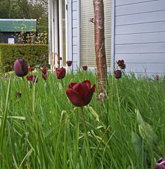 Earlsdon Open Gardens (amandabhslater) Tags: garden coventry opengardens ngs earlsdon