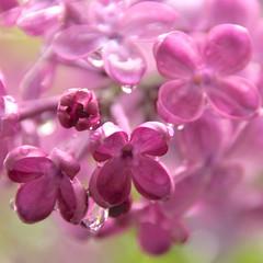 Lilac Drops (2bmolar) Tags: drops lilacs odc
