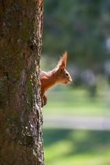 _MG_4360 (i0wa) Tags: nature squirrel estonia tallin mnnipark sigma70300f456apo canoneos40d
