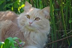 Tobbi in Grasses II (frankbehrens) Tags: cats tom cat chats chat pentax gatos gato katze katzen kater ks2 pentaxks2