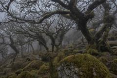 Wistman's Wood (GuyBerresfordPhotography.co.uk) Tags: trees mist fog woodland moss oak haunted fantasy mystical magical dartmoor twisted gnarled forestofdean wistmanswood twobridges atmpospheric