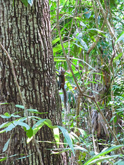 "Tikal: un copain à Miss V <a style=""margin-left:10px; font-size:0.8em;"" href=""http://www.flickr.com/photos/127723101@N04/26240583525/"" target=""_blank"">@flickr</a>"
