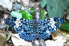 Papillon (mara.arantes) Tags: brazil naturaleza macro nature azul digital butterfly natural papillon eco borboletablue