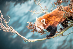 Red Panda Portrait (Rob Walker Photography) Tags: city red portrait urban lake london nature animal landscape big nikon panda ben district f28 70200mm 2470mm d90 d810 1424mm