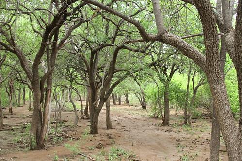 "Tamboti ""Forrest"", Spirostachys africana, Tambotie, Tamboti(Afr)IMG_3644"