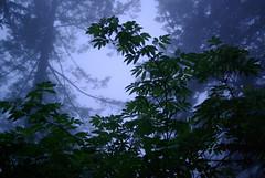Evening at Mt. Hebo (skomra) Tags: trees usa fog oregon pentax evergreens canopy mthebo k10d smcpf28mmf28 smcpentaxf28mmf28 imgp8496