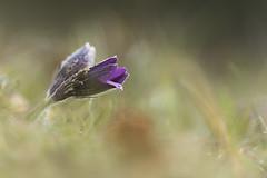 Anémone pulsatille (vyclem78) Tags: fleurs d750 avril yc flore boncourt anemonepulsatilla anémonepulsatille