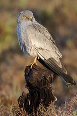 _NAT8722 (VictorD7000) Tags: espaa naturaleza birds fauna birding aves alicante birdwatching torrevieja circuspygargus rapaces faunaiberica aguiluchocenizo nikond7200 sigma150600sport pnlagunasdelamatatorrevieja