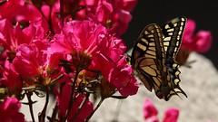 Spring's time (66Colpi) Tags: macro primavera blu giallo azalea rosso colori farfalla giardino macaone