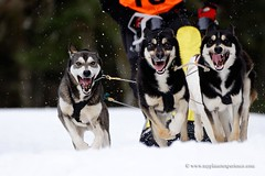 Sled dog race (My Planet Experience) Tags: winter dog snow animal alaska race husky ak running racing yukon greenland siberian musher mushing sled sleigh eskimo pulk sledge snowdog yt pulka groenland wwwmyplanetexperiencecom myplanetexperience
