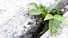 Beauty in crack. (Mr.Machain) Tags: plants plant nature beauty concrete outside outdoors leafs greenleafs