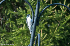 Downy Woodpecker (rugby4all) Tags: birds female spring nikon fingerlakes d90 nikon70300mmf456gaf downywoodpercker