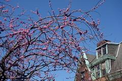 Old redbud tree, 22nd Street, Philadelphia (neil.gilmour) Tags: tree philadelphia colors cherry outdoors spring pennsylvania bluesky trinitychurch spruce redbud