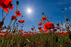 Amapolas a contraluz (Lagier01) Tags: naturaleza flora flor paisaje campo amapolas