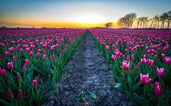 Tulips at Sunset (Explored 21-4-21016) (mcalma68) Tags: flowers sunset red sky sun netherlands dutch landscape spring tulips symmetry dutchlandscape beemster