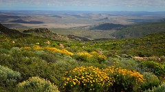 Namaqua National Park, South Africa (Sumarie Slabber) Tags: flowers plant mountains flower green nature field yellow landscape southafrica countryside outdoor august mountainside veld arid hotspot skilpad 2014 namaqualand northerncape namakwaland garies namaquanationalpark sumarieslabber