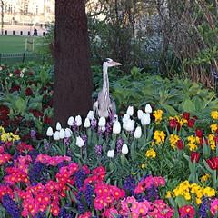 Grey Heron tiptoes through tulips. (Jeff G Photography - jeffgphoto@outlook.com) Tags: park bird london tulips ardea stjamesspark greyheron cinerea