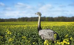 Nandoo! #2 (Schneggart) Tags: bird nature field outdoor feld exotic greater raps rhea canola nandu schleswigholstein mecklenburgvorpommern ratzeburg bk
