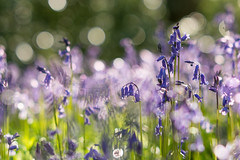 A walk amongst the bluebells (Willers1404) Tags: flowers blue sunset sunlight macro silhouette bluebells forest woodland easter carpet petals spring stem woods bokeh creative bloom dreamy backlit growing warwick stalk creamy