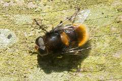 Hoverfly- Eristalis intricaria (linanjohn) Tags: uk macro nature wildlife insects cumbria syrphidae diptera hoverflies eristalinae eristalisintricaria meathopmoss