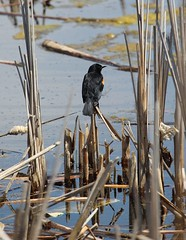 Weighing his options (jmaxtours) Tags: redwingblackbird weighinghisoptions