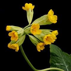 Cowslip M4259577sqsm (Preselector) Tags: flower greenhouse cowslip primulaveris 50mmmacro