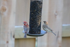 House Finches (astro/nature guy) Tags: bird finch housefinch illinoisbird champaignbird
