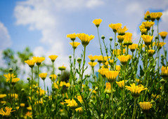 fields of gold (BSchwend1) Tags: scad