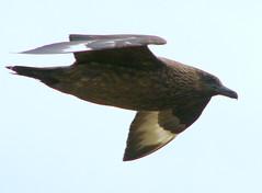 Great Skua (stuartcroy) Tags: bird island orkney gull greatskua bonxie grearskua